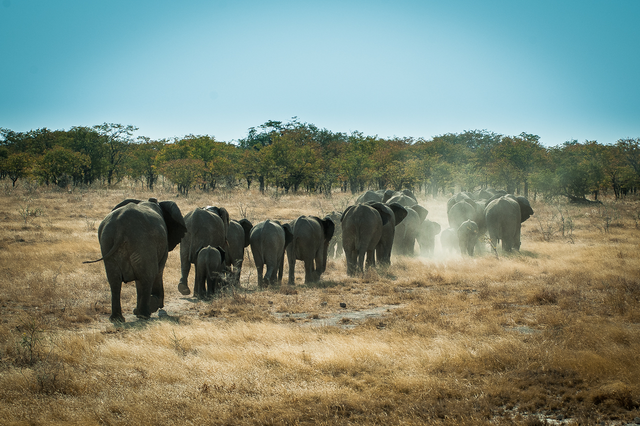 Herd of elephants, Etosha NP