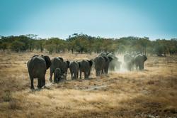 Elephant herd - Namibia