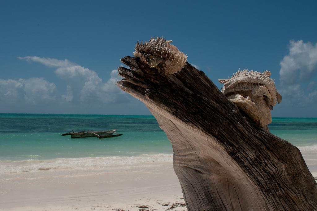 Pufferfish drying, Jambiani beach