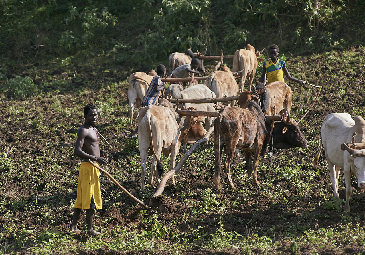 Ploughing with bulls, Konso