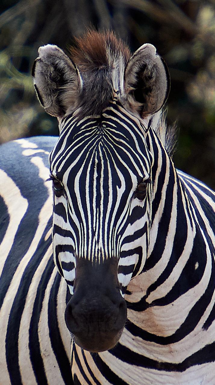 Zebra, Tarangire