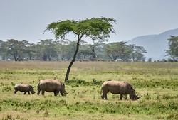 Black Rhino family, Nakuru