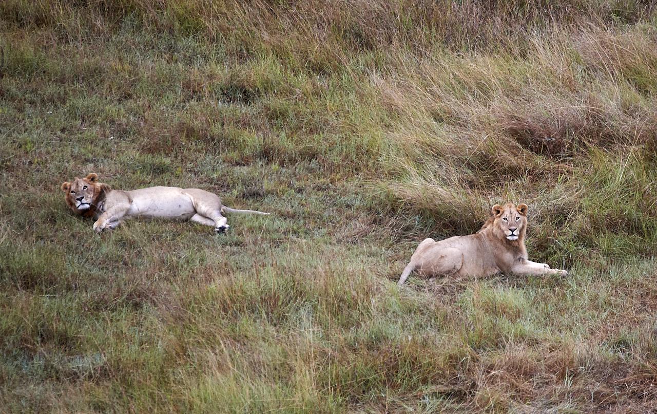 Young male lions, Masai Mara