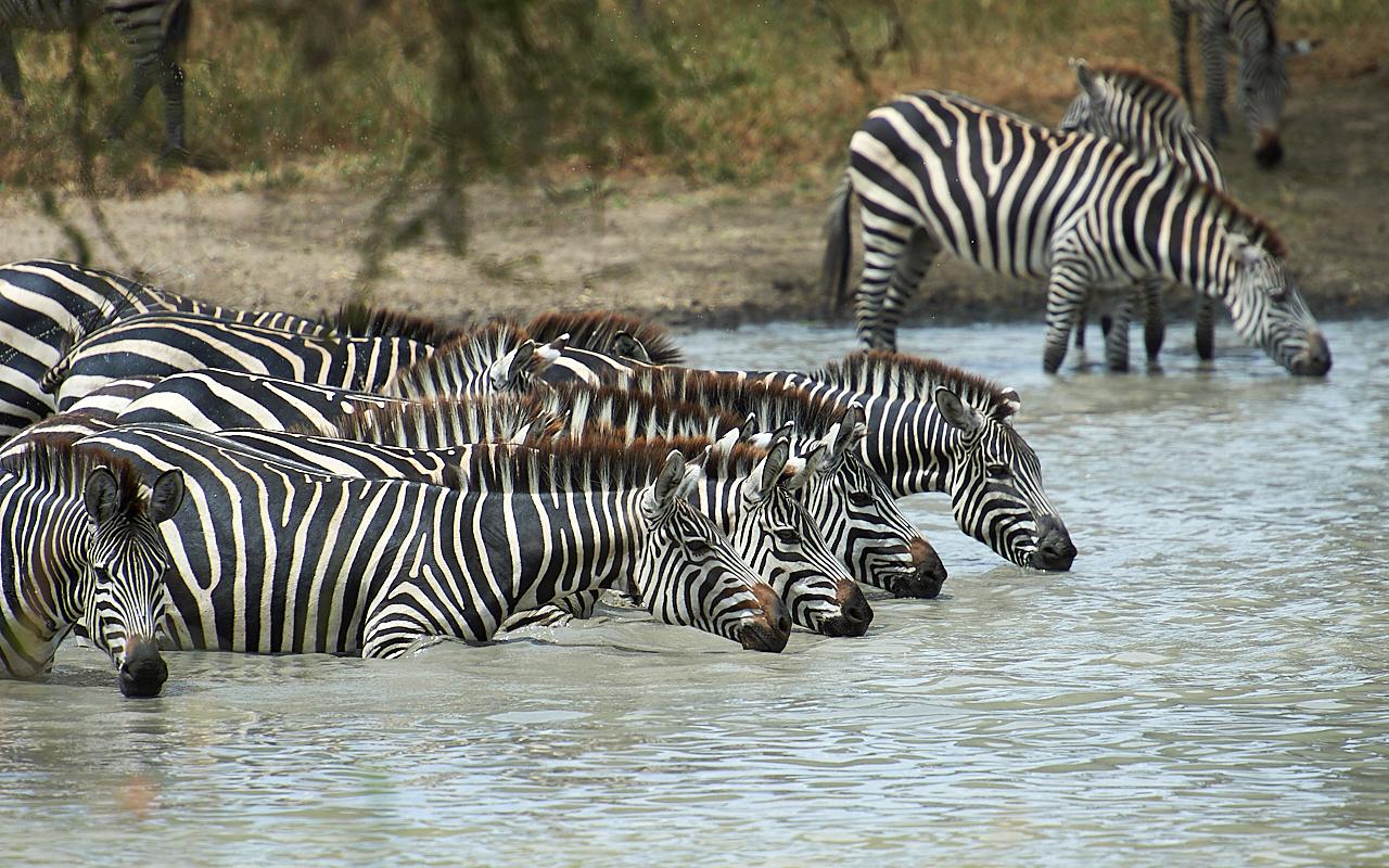Zebras, Tarangire