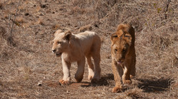 Young lions - Livingstone, Zambia