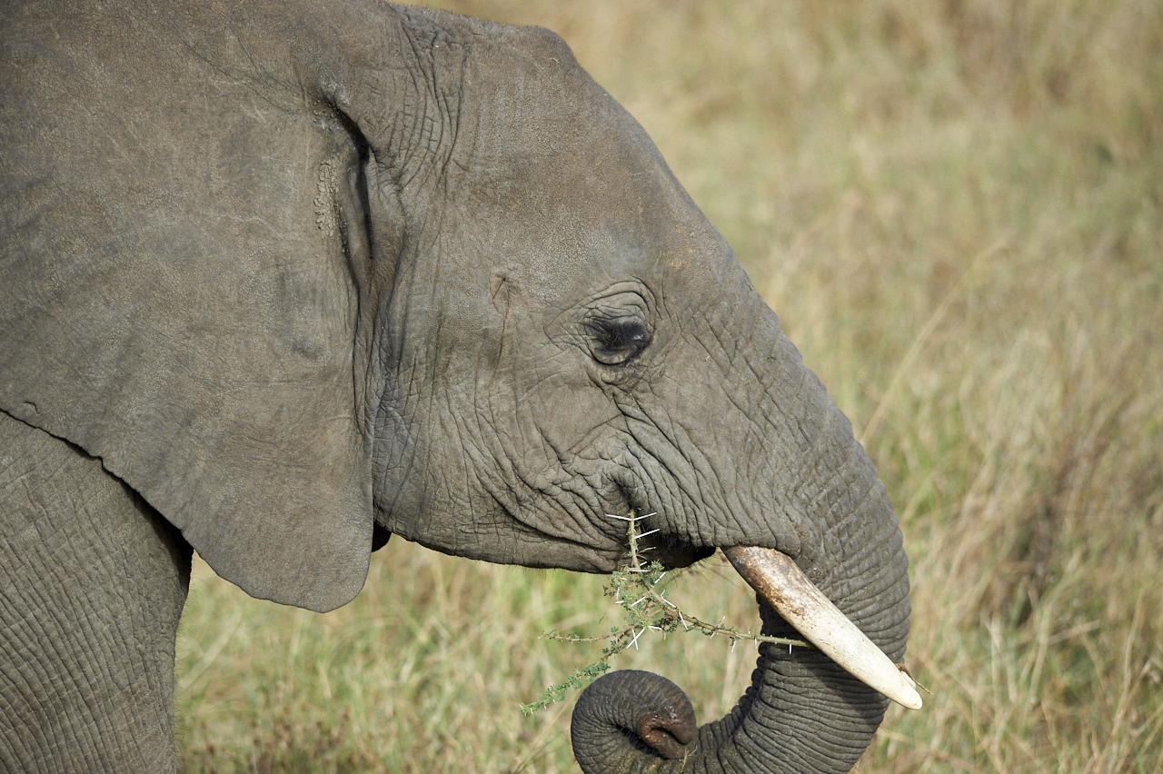 Young elephant, Serengeti