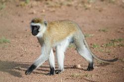 Vervet Monkey, Serengeti