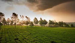 Sunset over tea plantation, Kericho