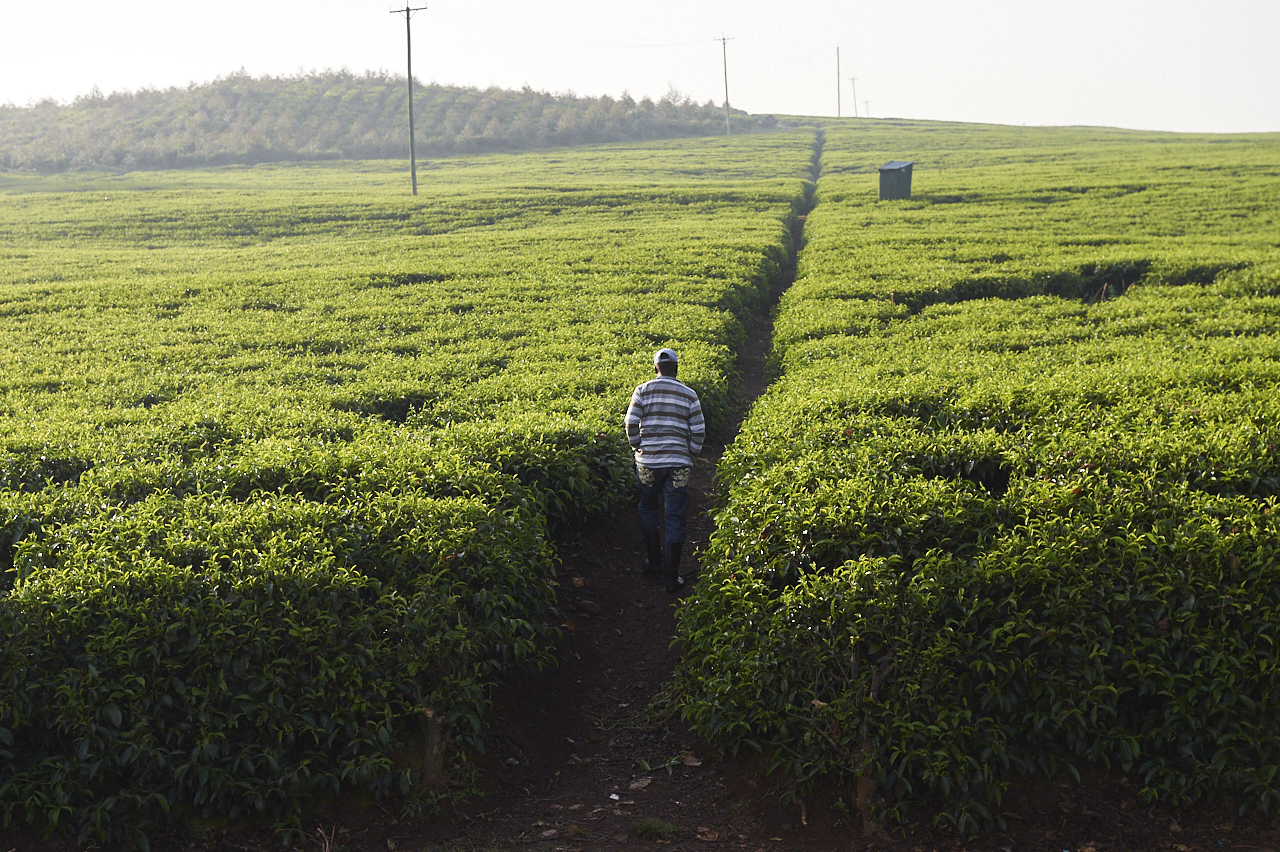 Tea plantations, Kericho
