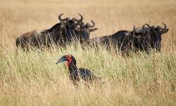 Southern ground hornbill, Mara