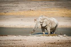 White elephant, Etosha NP