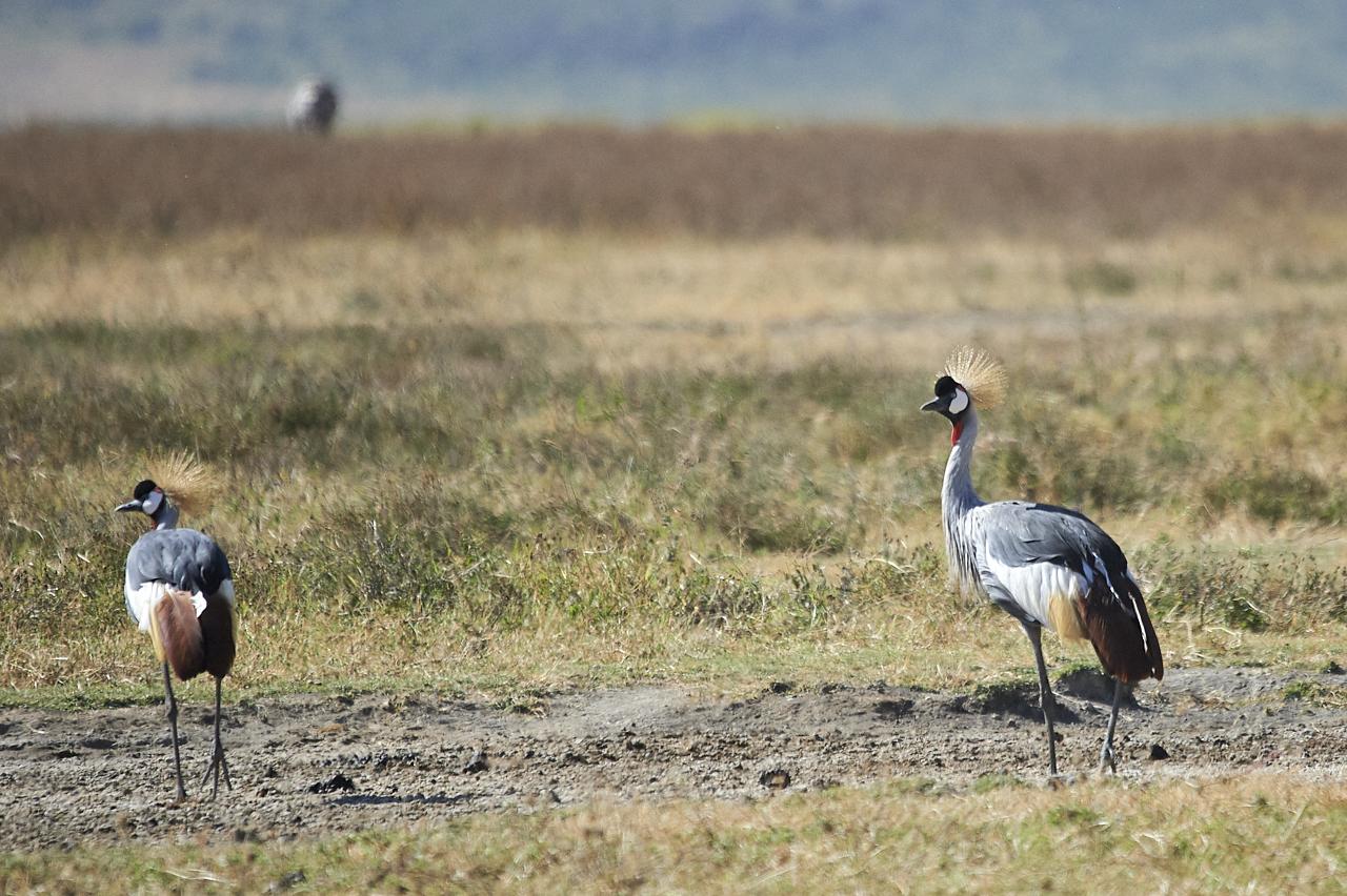 Crowned cranes, Ngorongoro