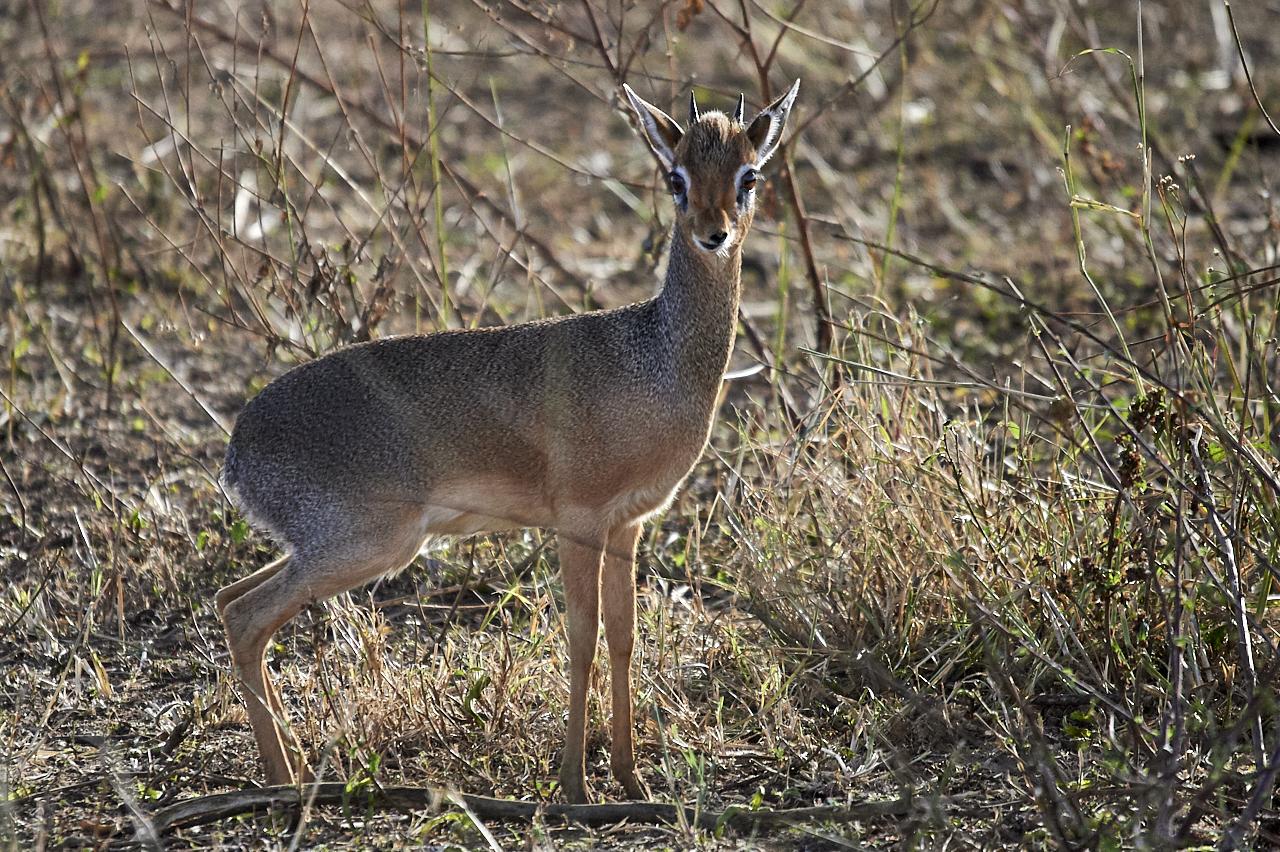 Dik-dik, Serengeti