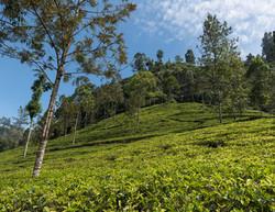 Bluefield tea gardens, Nuwara Eliya
