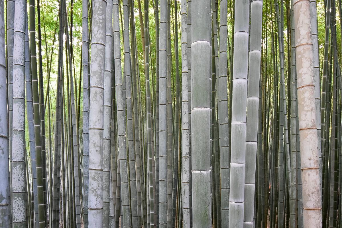 Bamboo grove, Arashiyama
