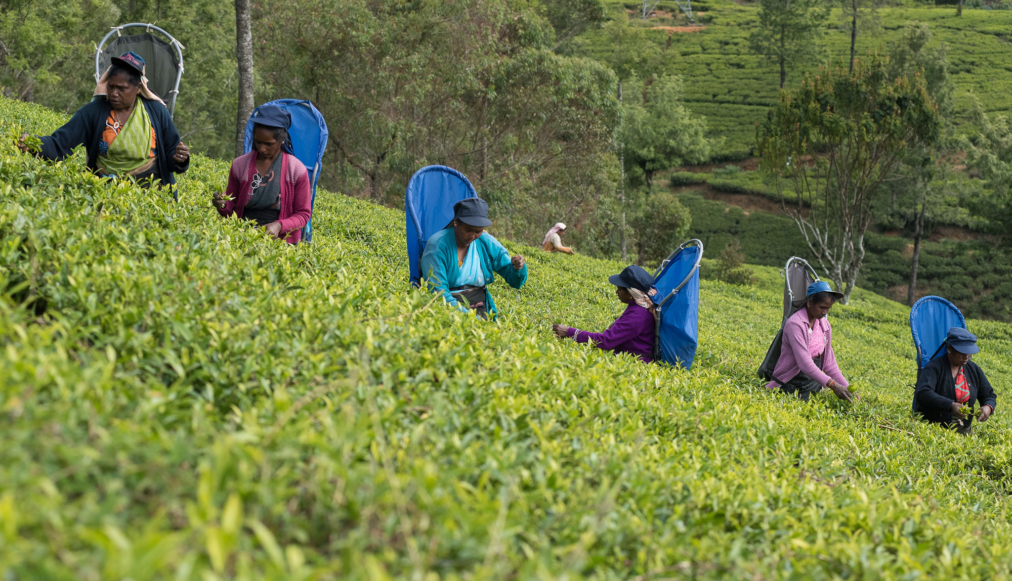 Tea workers, Pedro Estate