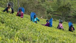 Tea workers, Pedro Estate