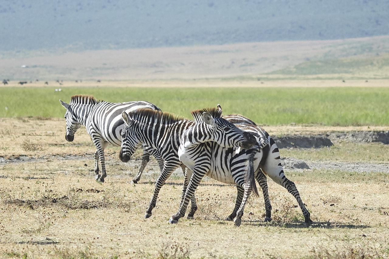 Zebras, Ngorongoro