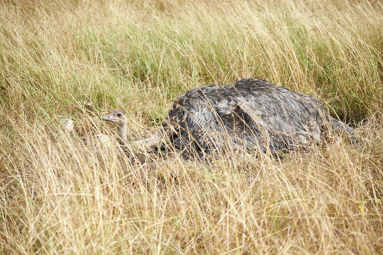 Ostrich hatching eggs, Masai Mara