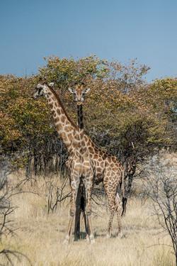 Giraffes, Etosha NP