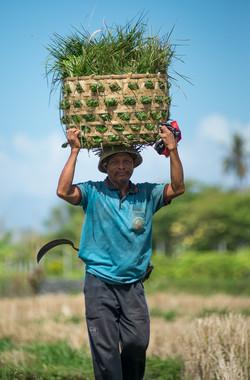 Farmer, Pantai Purnama