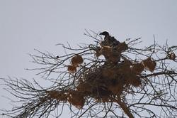 Vulture chick in nest, Ngorongoro