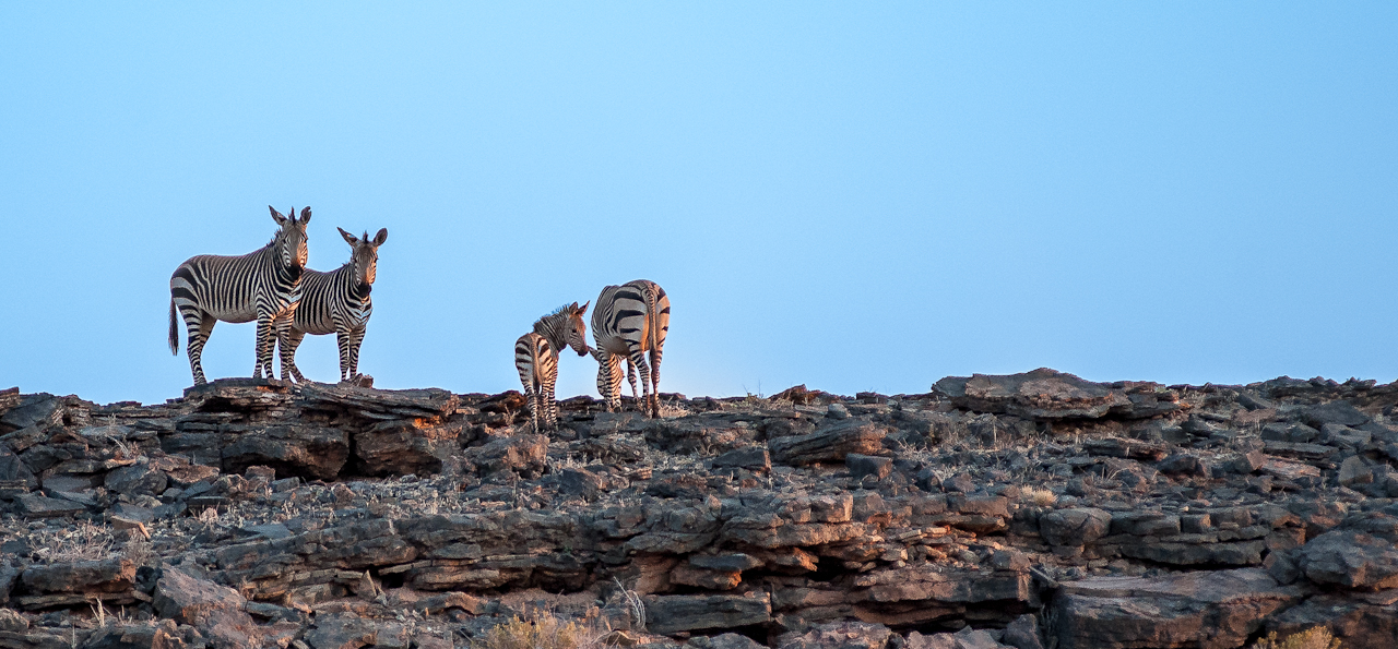 Mountain zebras at sunrise