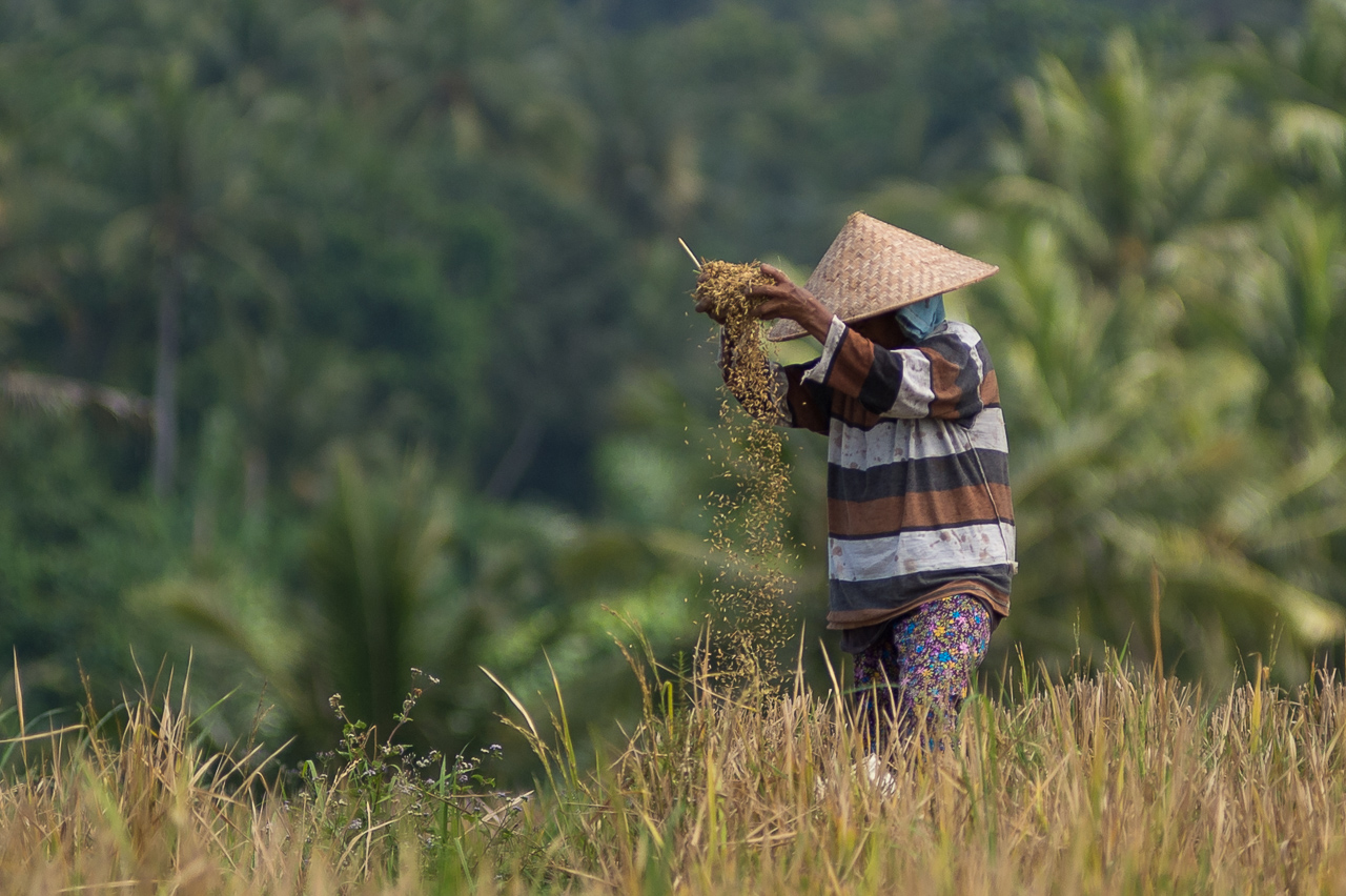 Wheat farmer, east Bali