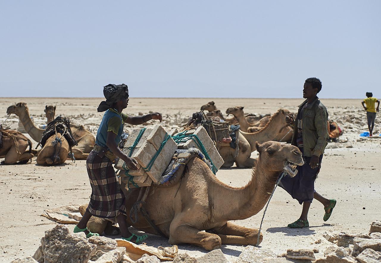 Salt miners loading the camel