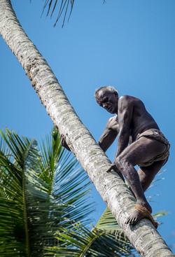 Coconut picker, near Weligama beach