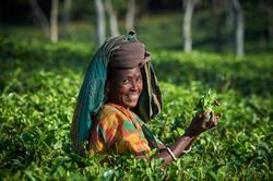Tea picker, Sreemangal