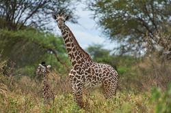 Giraffes, Tarangire