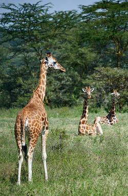 Rothschild's giraffes, Nakuru
