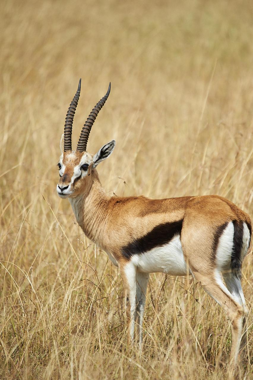 Thomson's Gazelle, Masai Mara Park