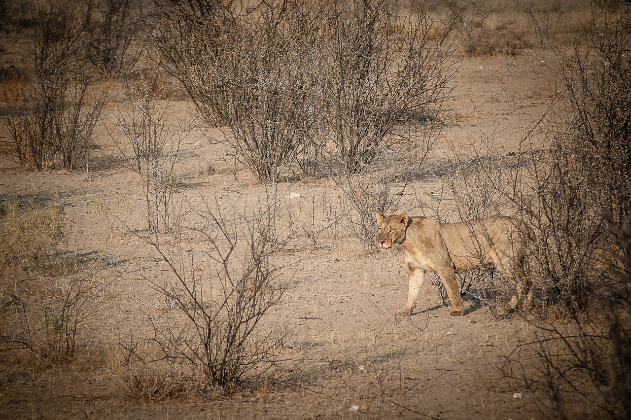 Lioness in Etosha NP