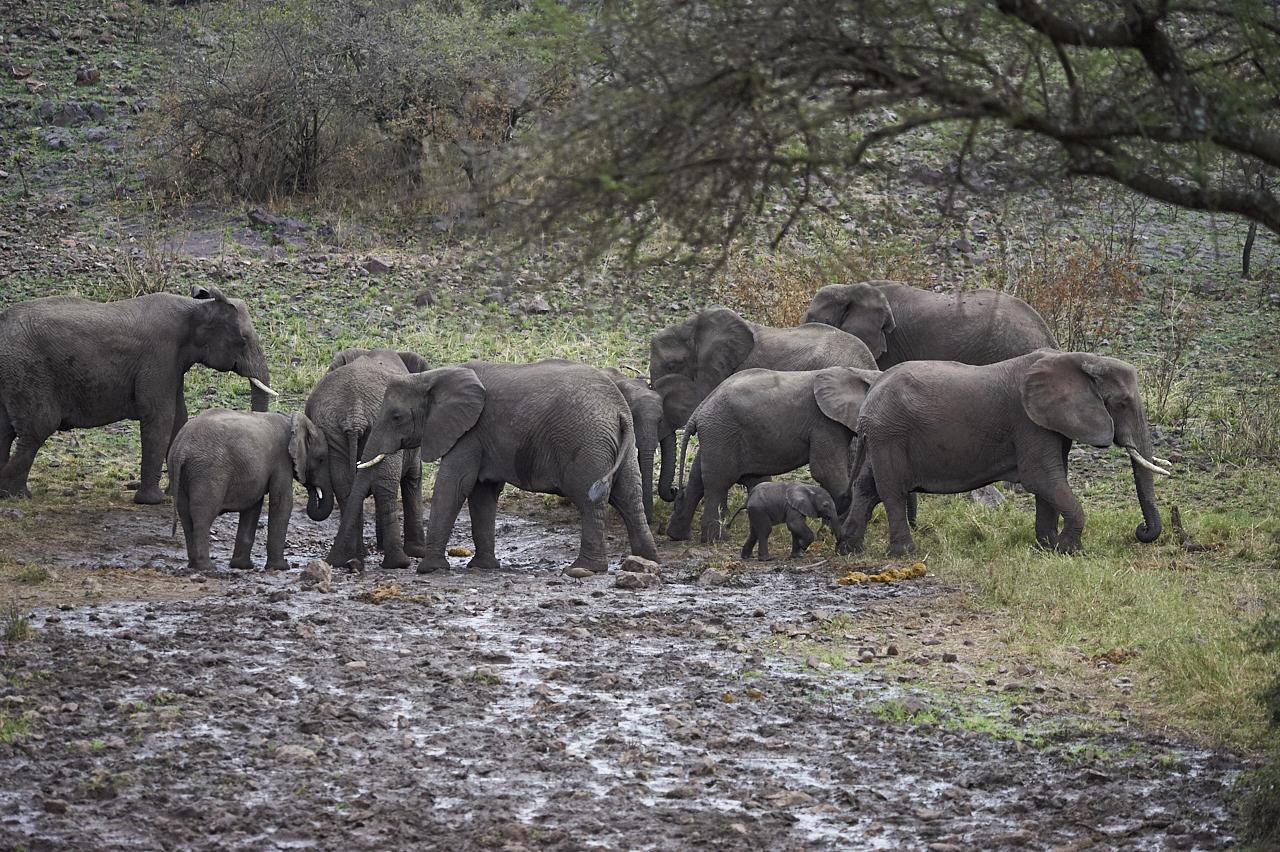 Elephant herd with babies, Serengeti