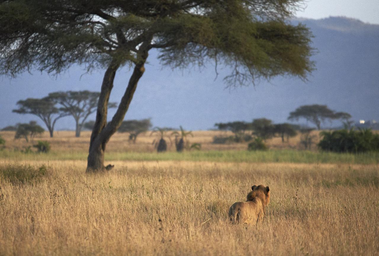 Lion, Serengeti