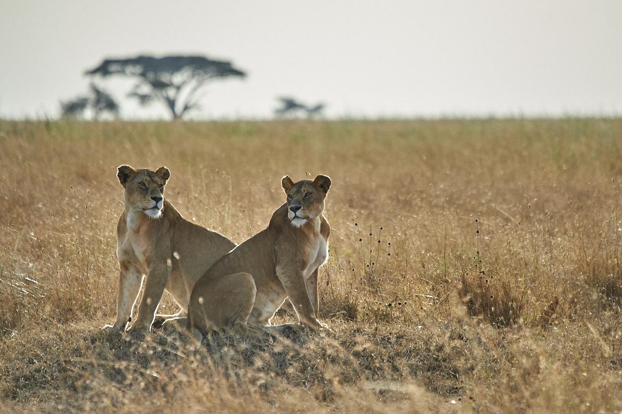 Lionesses, Serengeti