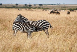 Zebra nursing, Masai Mara