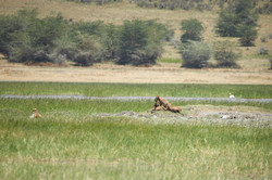 Lion cubs, Ngorongoro