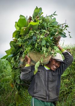 Farmer, Jatiluwih rice terraces
