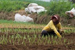 Planting leek, Central Bali