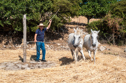 Traditional threshing, Peloponnese