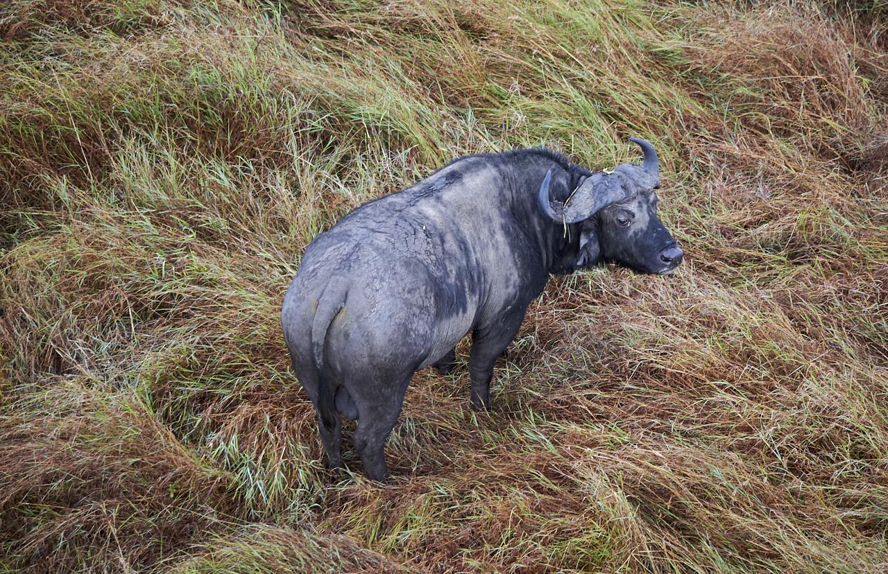 Buffalo, Masai Mara