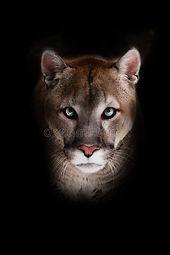 intense cougar.jpg
