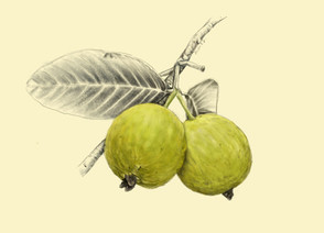 Fruit Trees by Soni Somarajan + Botanical Illustrations by Alisha Dutt Islam