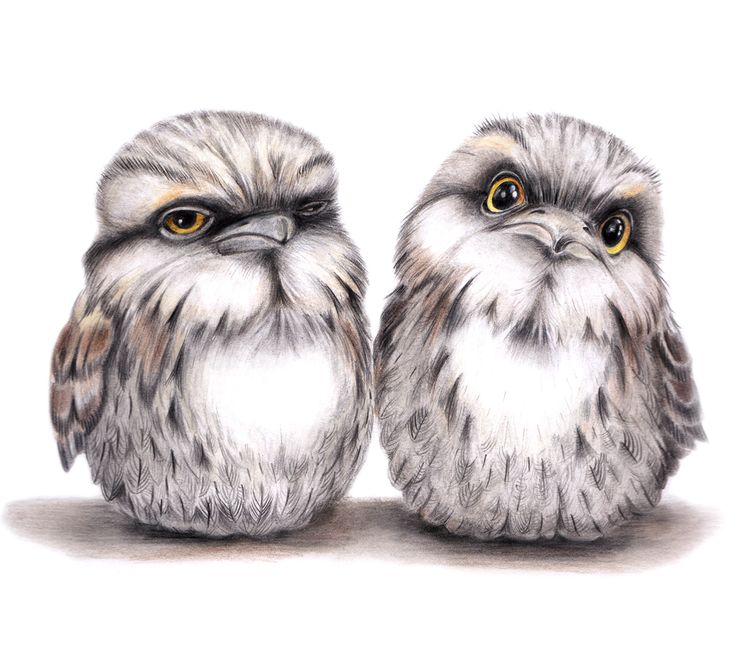 Tawny Frogmouths Print