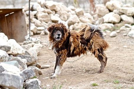 The Abandoned Tibetan Mastiffs