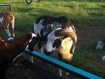 je-farm-unico-s-desert-hawk-1-1-orig_3_o