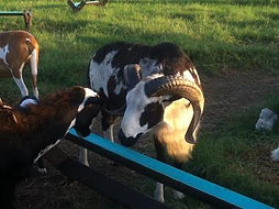 je-farm-unico-s-desert-hawk-1-1-orig_1_o